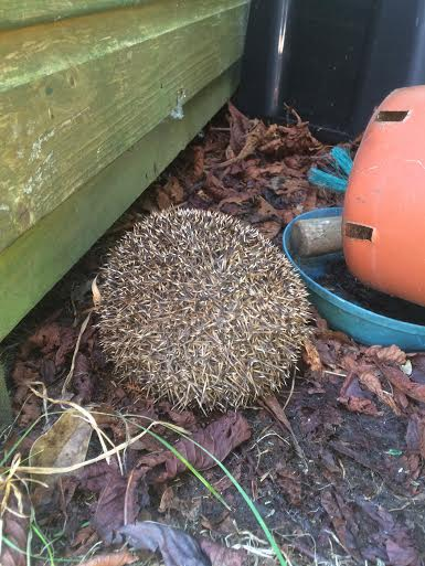 hedgehog curled up into a ball
